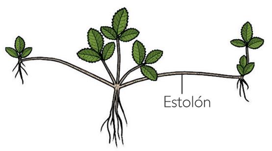 Reproduccion asexual por rizomas y estolones significado